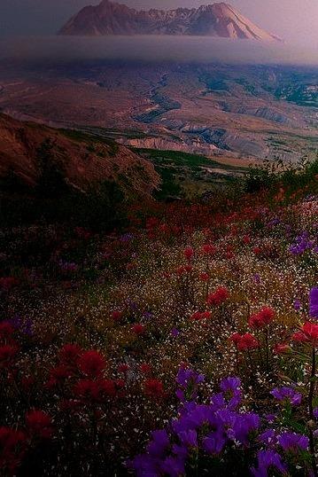 Wildflowers, Mt. St. Helens, Washington